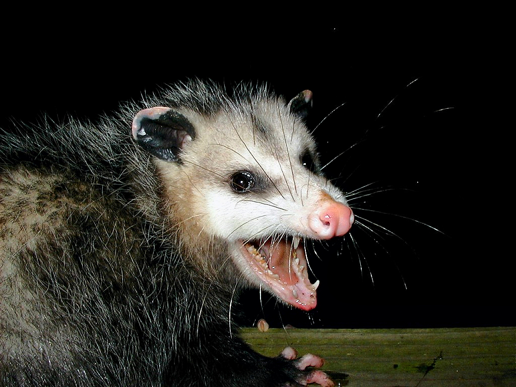 Possums, may look scary, but with a little training, you can learn how to get rid of them.